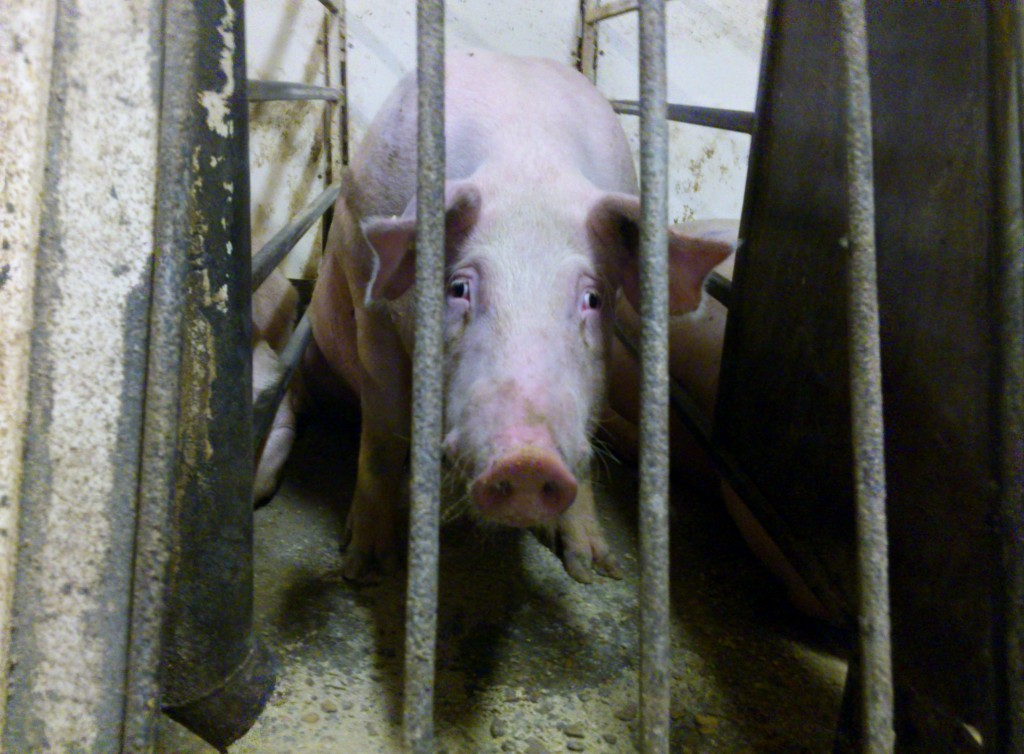 Pork industry should keep its promise to end inhumane practice