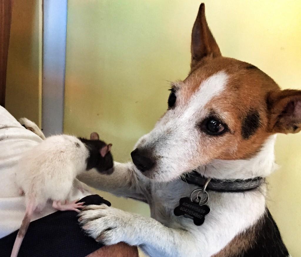 Jack Russell & rat