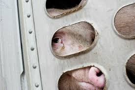 TO Pigsave pic