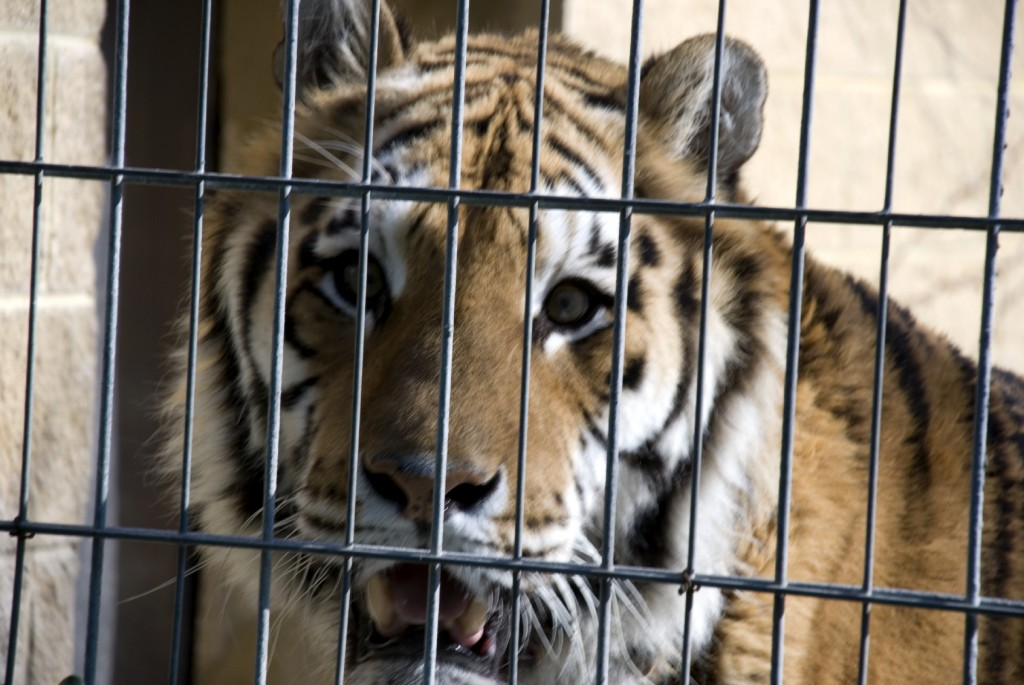 tiger iStock_000003062690Medium (2)