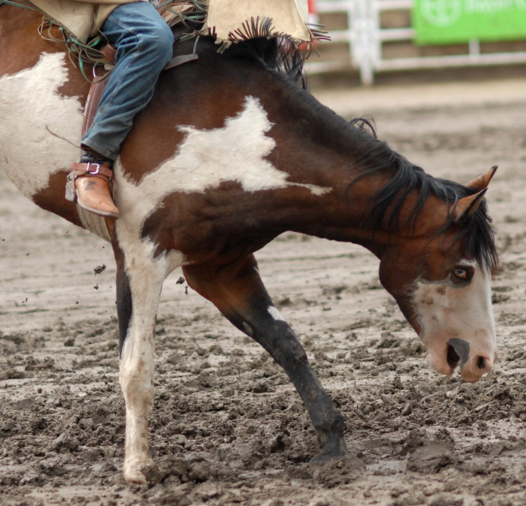 Bucking horse at Calgary Stampede. Photo: Jo-Anne McArthur