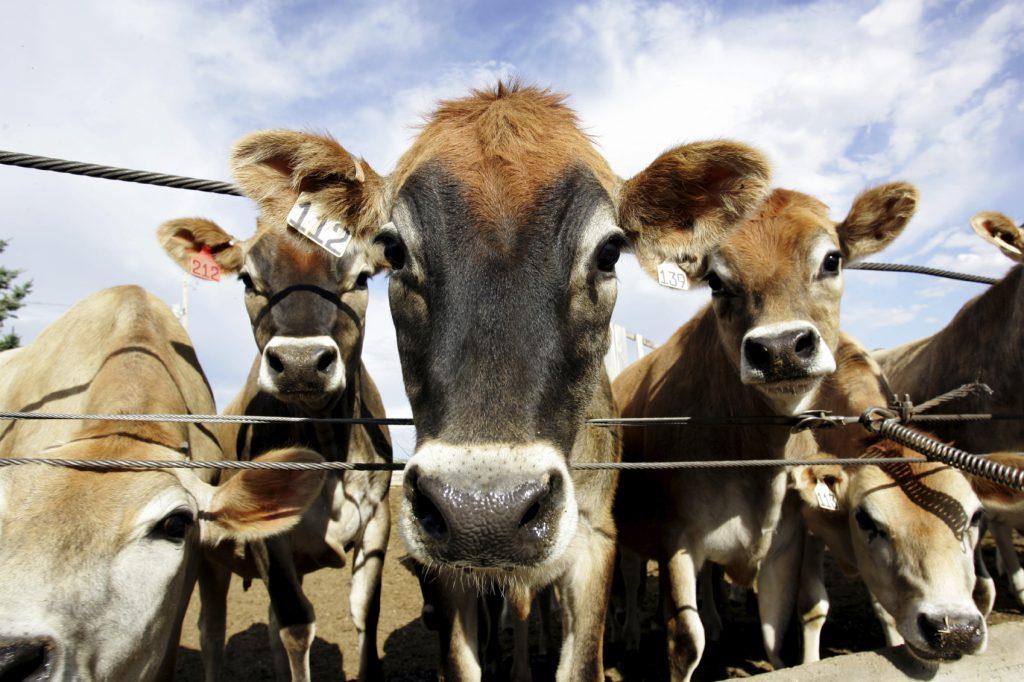 cow-istock-2