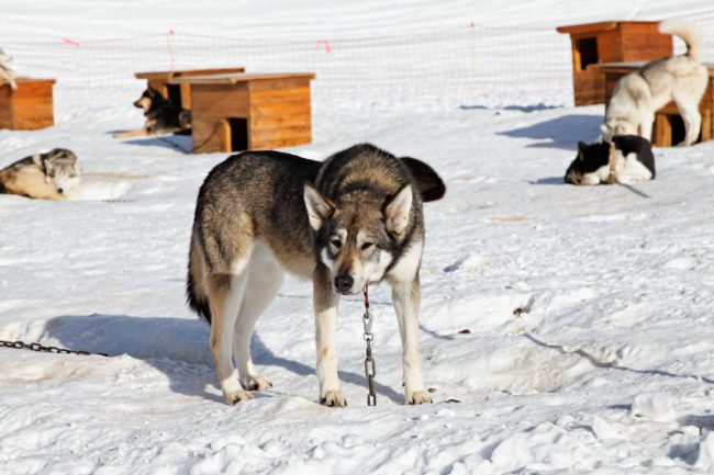 sled-dog-istock_000018254152small