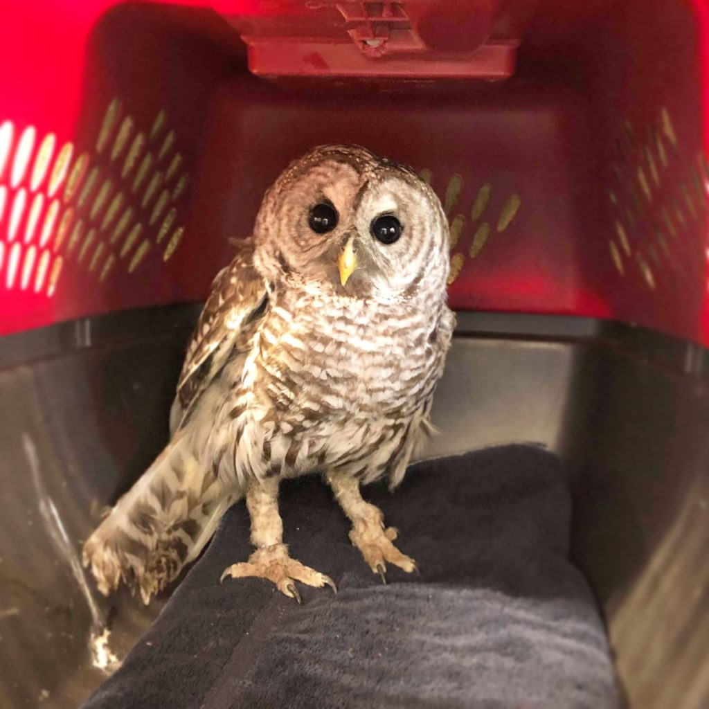Poisoned owl rescued by VHS supporter
