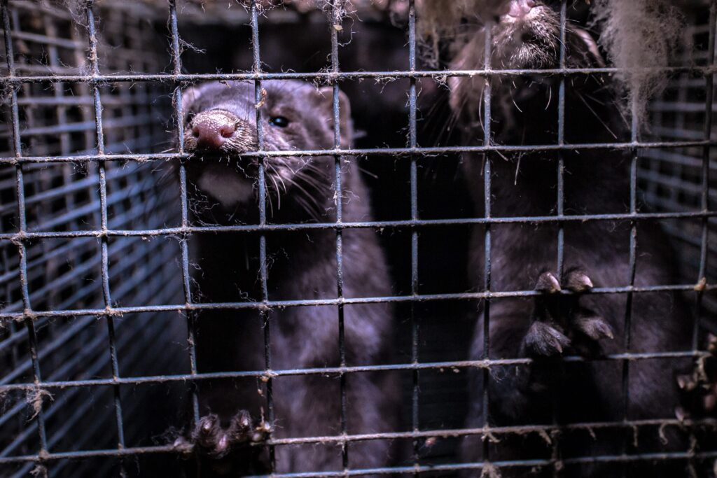 Speak out against proposed changes that will make life worse for farmed mink