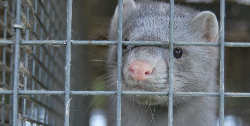 Speak up for animals on fur farms