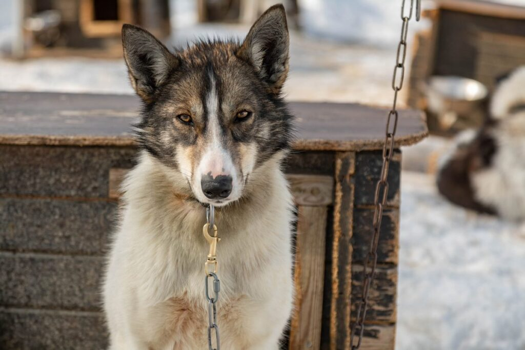 Tell the B.C. government to take action to help sled dogs