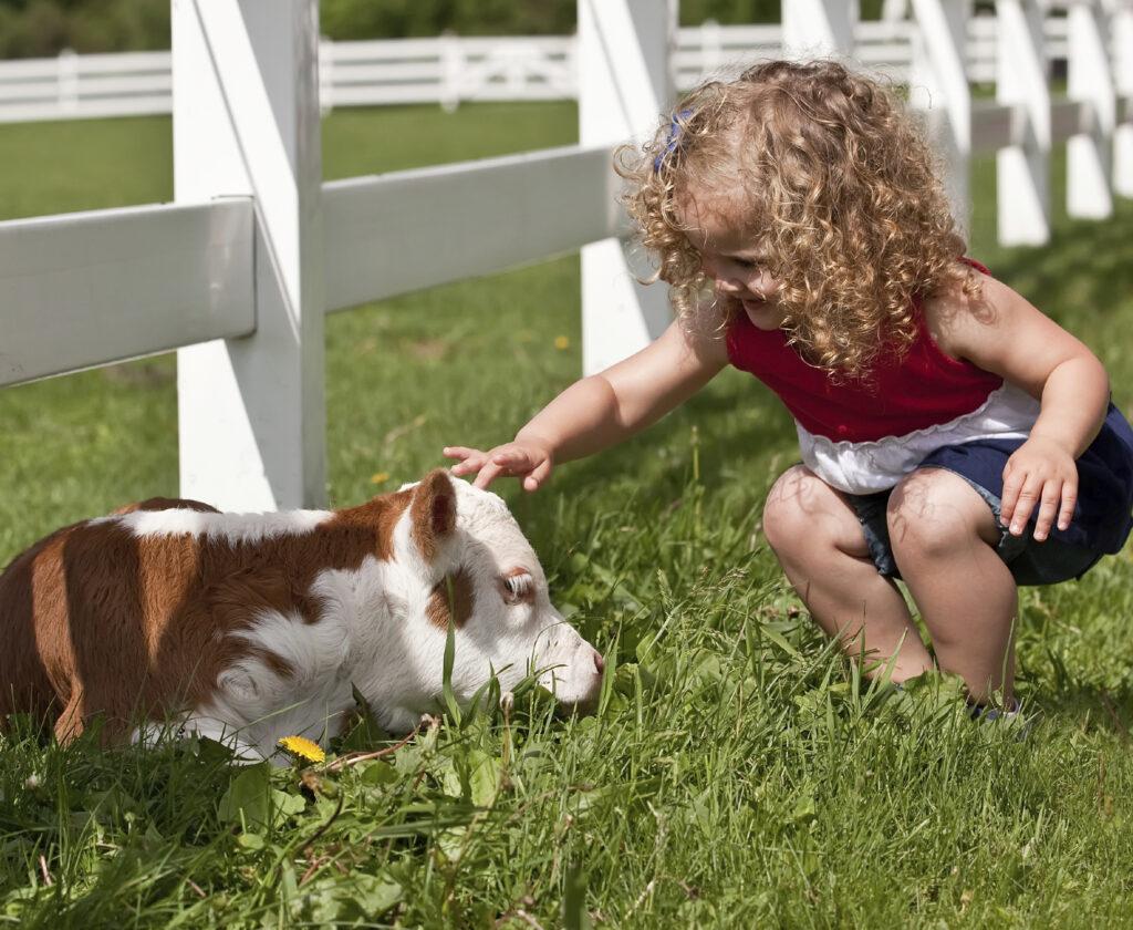 A happy toddler pets a calf at a farm sanctuary