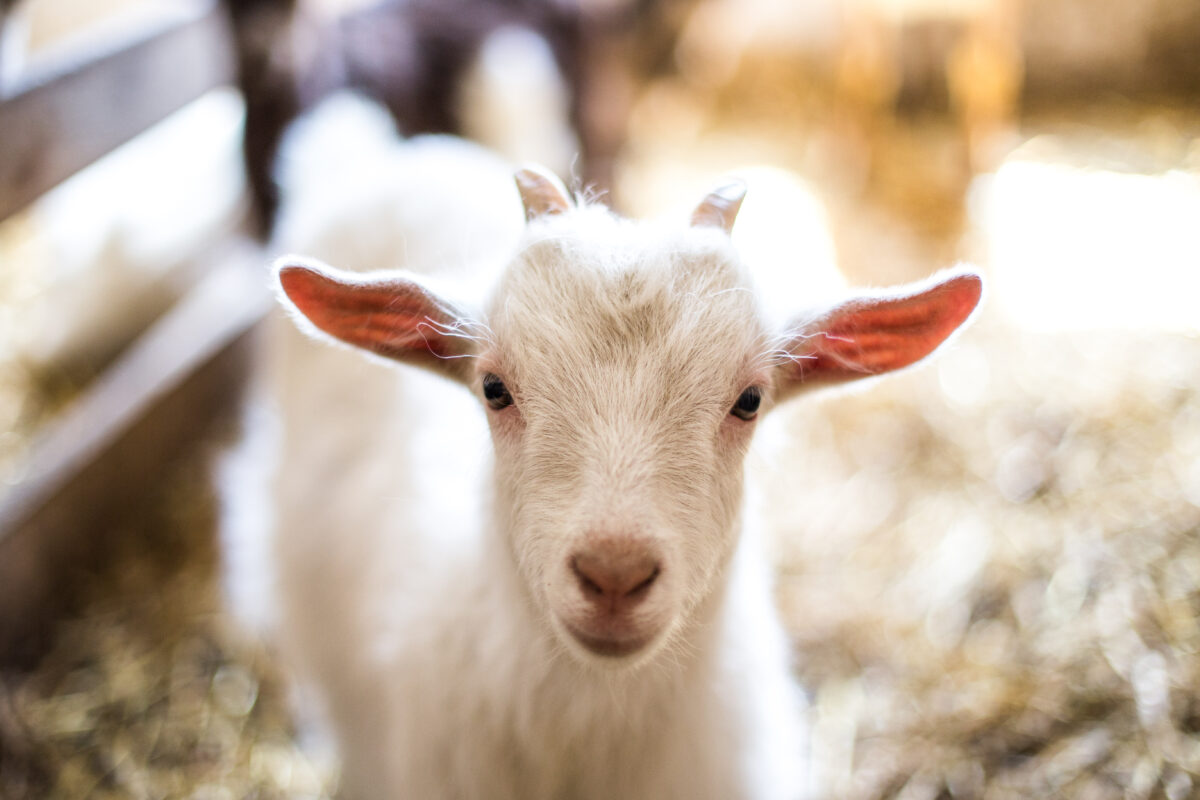 A baby goat pictured at a petting farm.